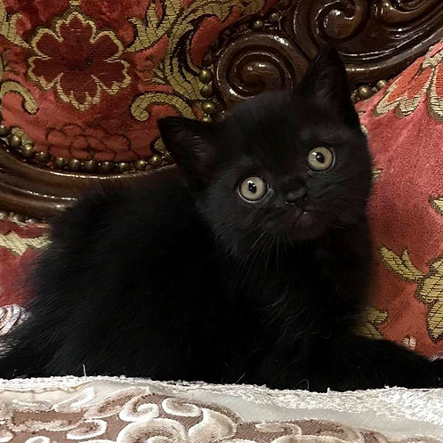 965 Richmond  Scottish straight shorthair male kitten