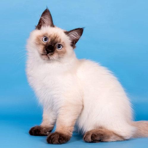 321 Ley  Siberian (Neva Masquerade) male kitten