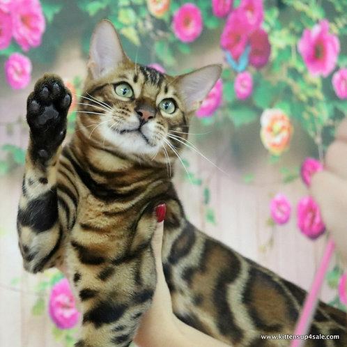 Kymani purebred Bengal male kitten