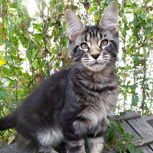 728 Dominic   Maine Coon male kitten