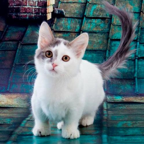 346 Klyaksa      Munchkin shorthair female kitten