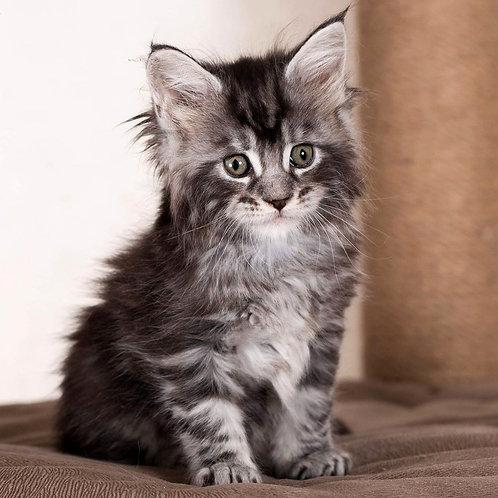 273 Elisey  Maine Coon male kitten