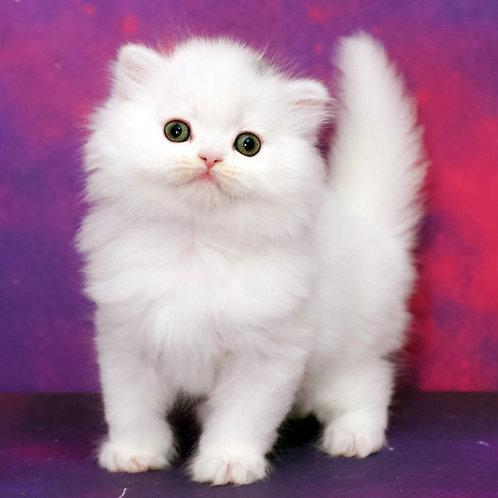 1123 Jadore  Scottish straight longhair female kitten