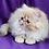 Thumbnail: 147 Barney   Persian  male kitten