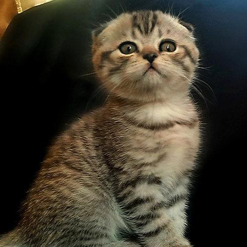 361 Alex    Scottish fold shorthair male kitten
