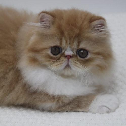 71 Edvin   Persian male kitten