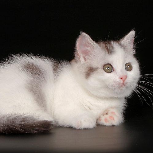 358 Burulka    Munchkin shorthair female kitten