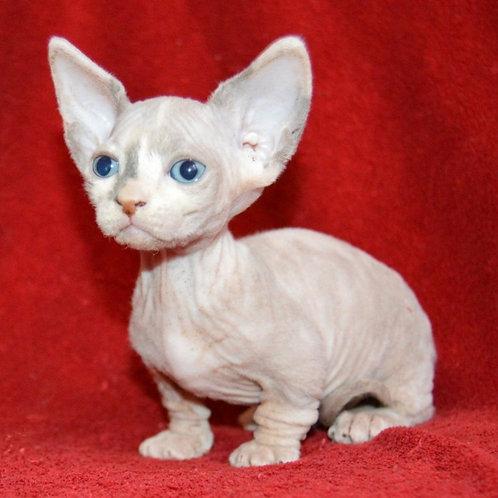 193 Antalia female Bambino  kitten