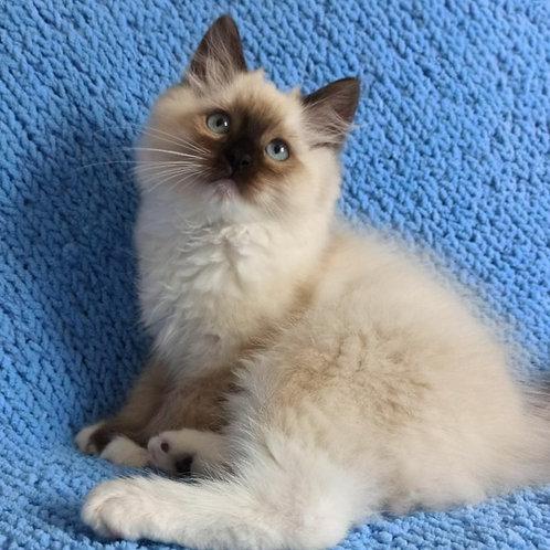 433 Oreo   Ragdoll male kitten