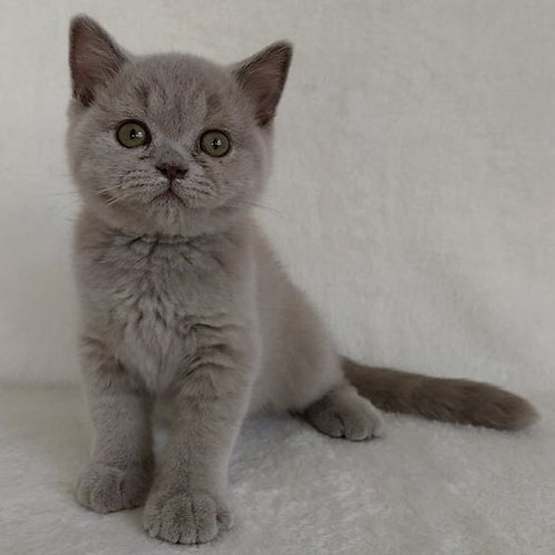311 Lord British shorthair male kitten