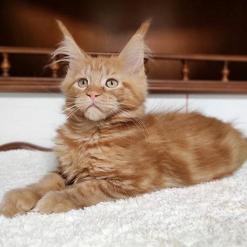 17 Tifani Maine Coon female kitten
