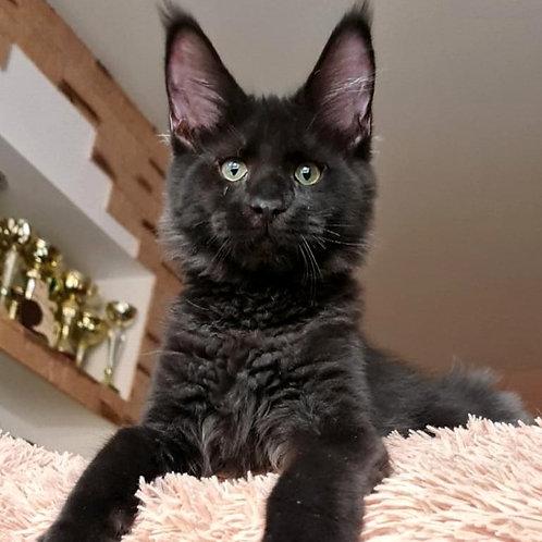 455 Taker  Maine Coon male kitten