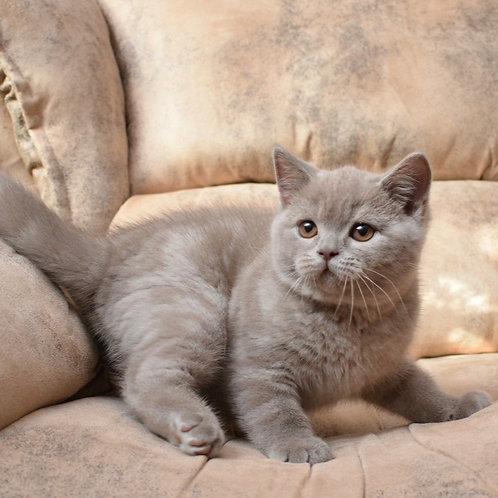 Ugjin British shorthair male kitten