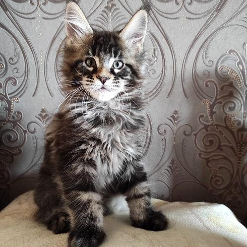 394 Vsemir    Maine Coon male kitten