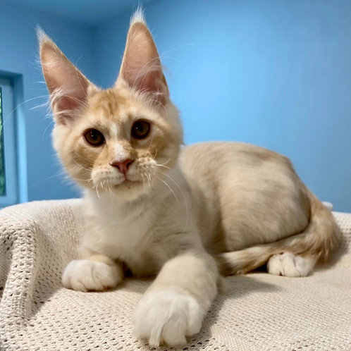 676 Carles  Maine Coon male kitten