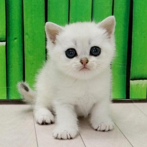 1076 Felimon  British shorthair male kitten