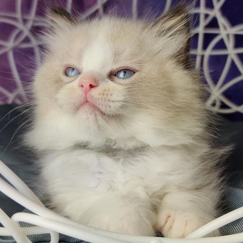 23 Alex  Ragdoll male kitten