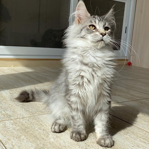Gibson Maine Coon male kitten