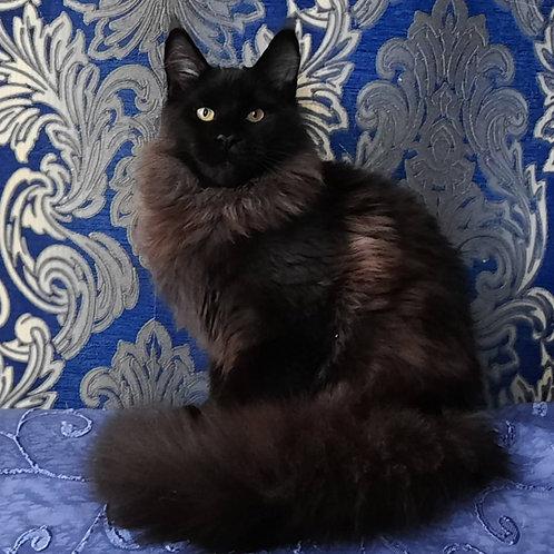 358 Ernest   Maine Coon male kitten