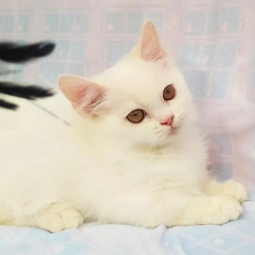920 Gibson     Munchkin longhair male kitten