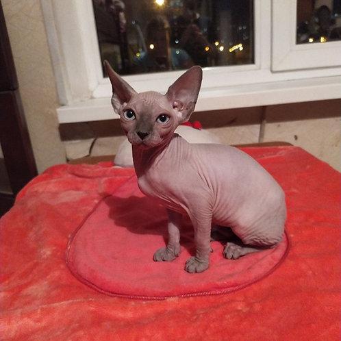 Amanda female Sphinx  kitten