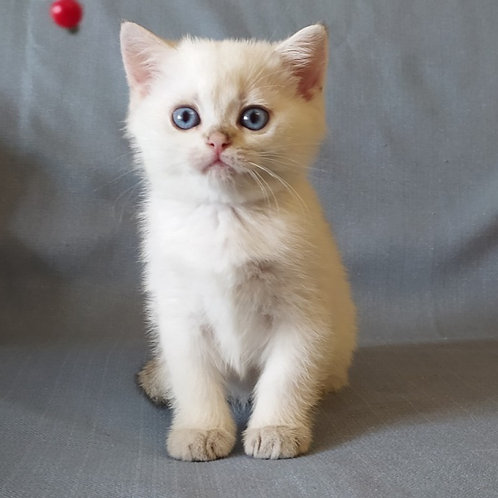 Mickey Mouse British shorthair male kitten