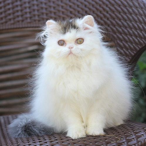 Funny Persian female kitten