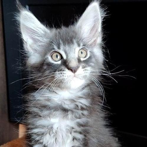 673 Beckham  Maine Coon male kitten