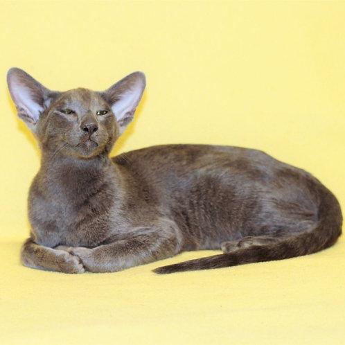 Onyx Oriental male kitten