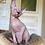 Thumbnail: 582 Barni  male Sphynx   kitten
