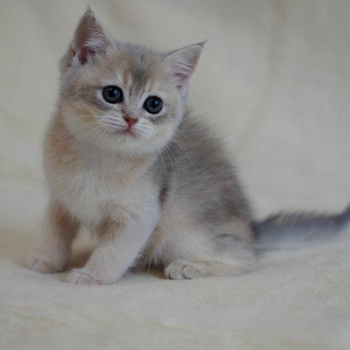 379 Adelina  British shorthair female kitten
