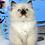 Thumbnail: 141 Businka    Ragdoll female kitten