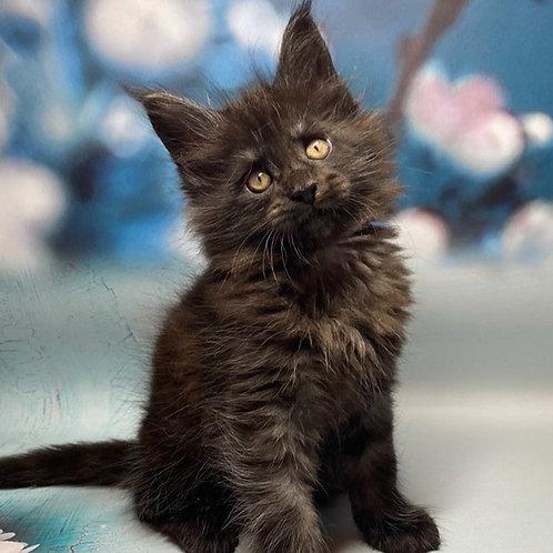 754 Balus Maine Coon male kitten