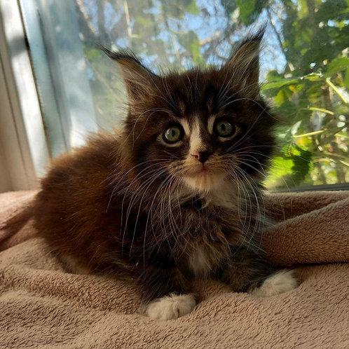 786 Kris  Maine Coon male kitten