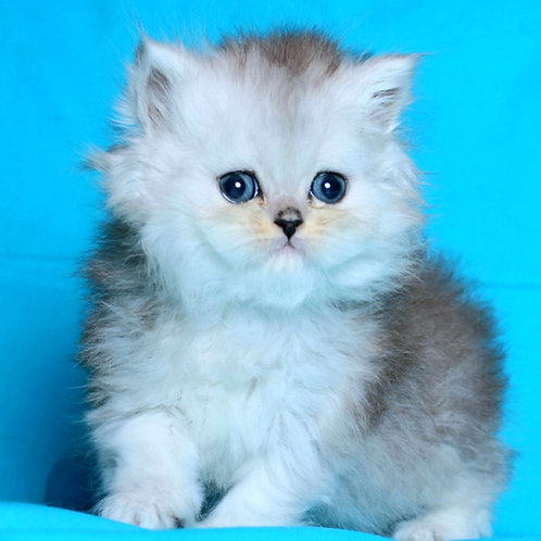 27 Dasha Persian  female kitten