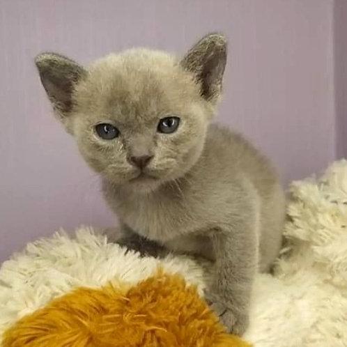 155 Eva   Burmese  female kitten