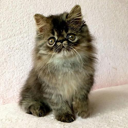 108 Winston Persian male kitten