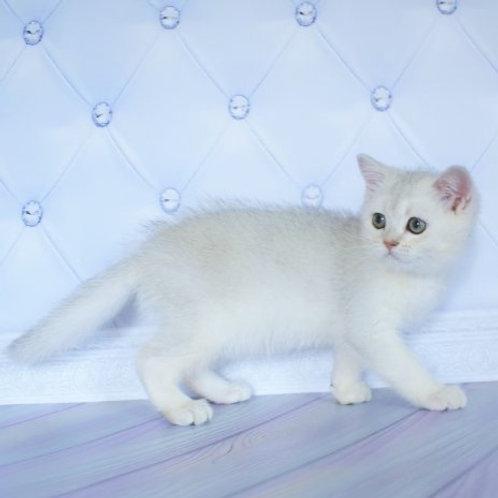Steve British shorthair male kitten