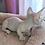 Thumbnail: 240 Assasin  male Bambino  kitten