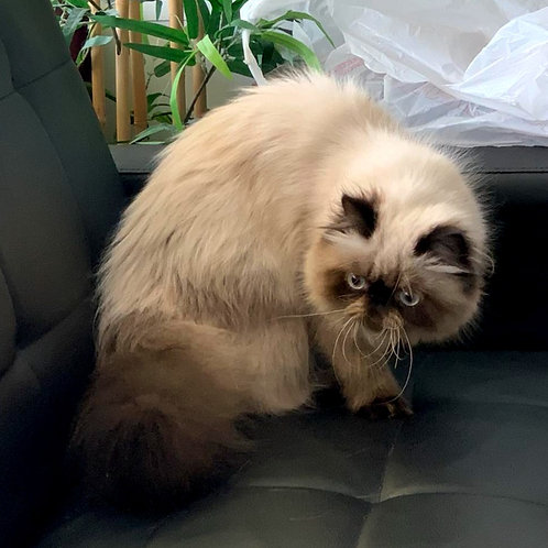 33 Nick  Persian  male kitten