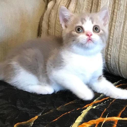 857 Edison  British shorthair male kitten