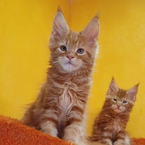 Aramis Maine Coon male kitten