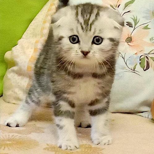 545 Baron Scottish fold shorthair male kitten