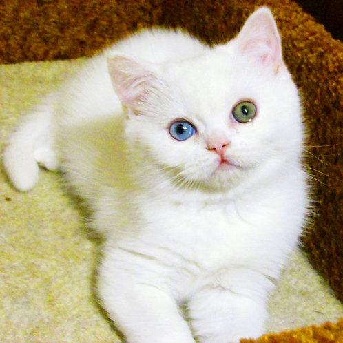110 William   Scottish straight shorthair male kitten
