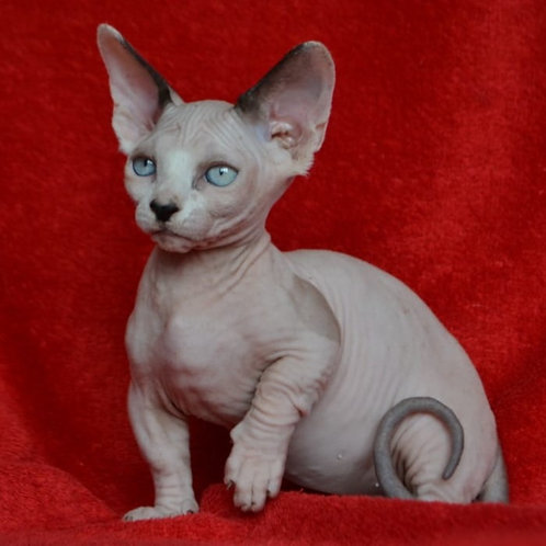130 Kaliostro male Bambino  kitten