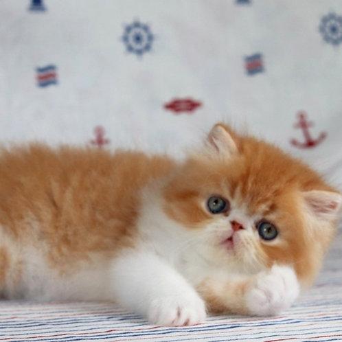118 Garfield   Persian  male kitten