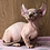 Thumbnail: 302 Malcom  male Dwelf  kitten