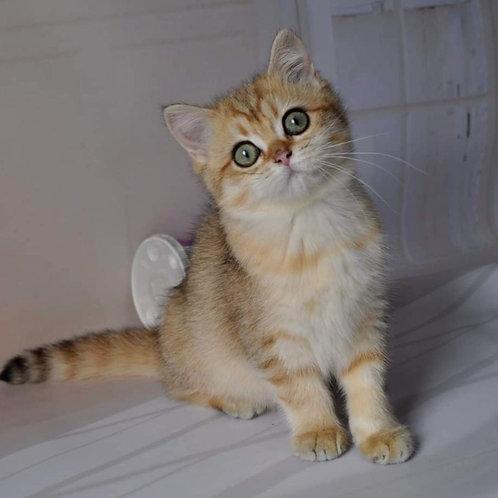 681 Vivian  British shorthair female kitten