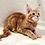 Thumbnail: 750 Bantik  Maine Coon male kitten
