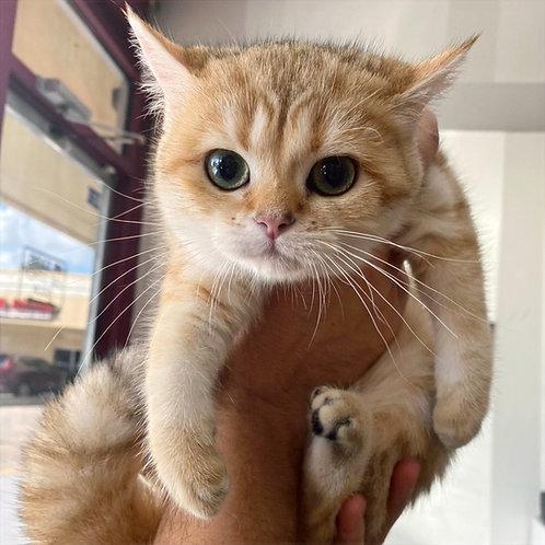 Kira British shorthair female kitten